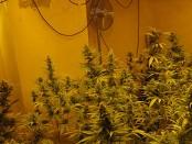 cannabis_puffbild