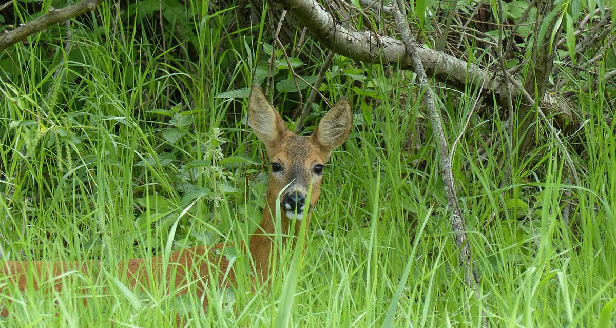 Rådjur är mest förekommande i Skurups kommuns viltolyckor. Foto: Wikimedia Commons.