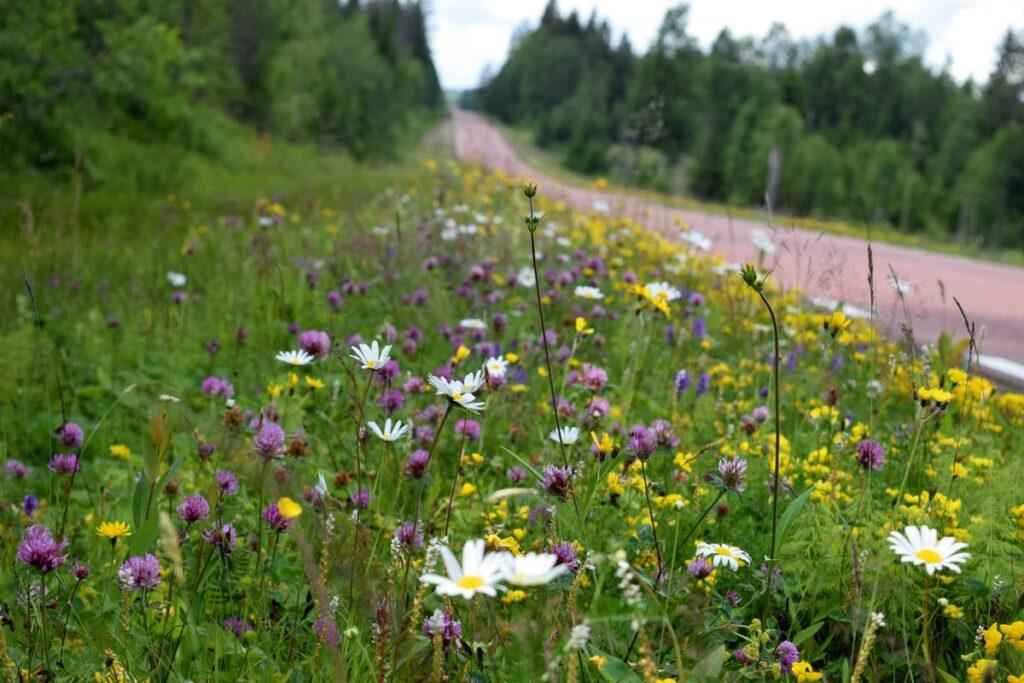 Vägrenen blir nytt hem för ängsväxterna. Foto: Kent Olsson