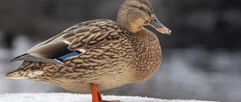 duck-5959084_1920
